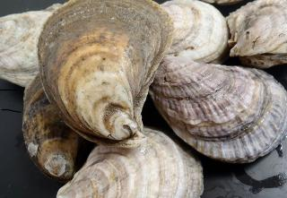 American oysters