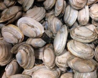 Softshell clams